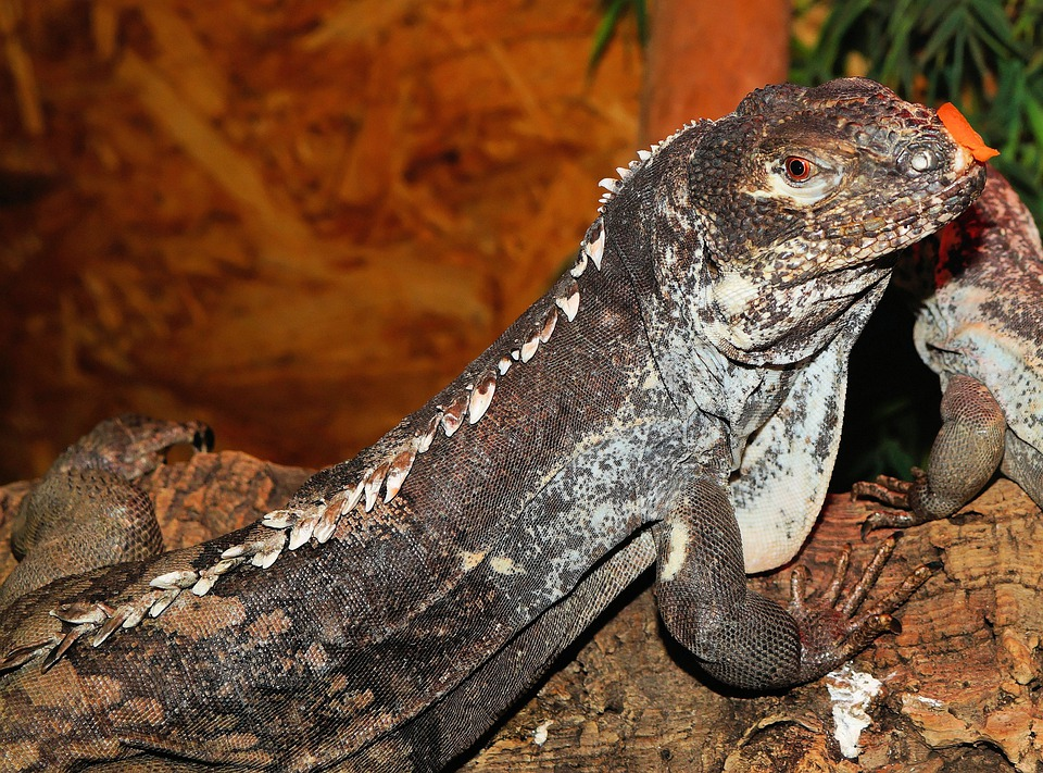 Lizard, Iguana, Reptile, Scale, Terrarium, Urtier, Dry