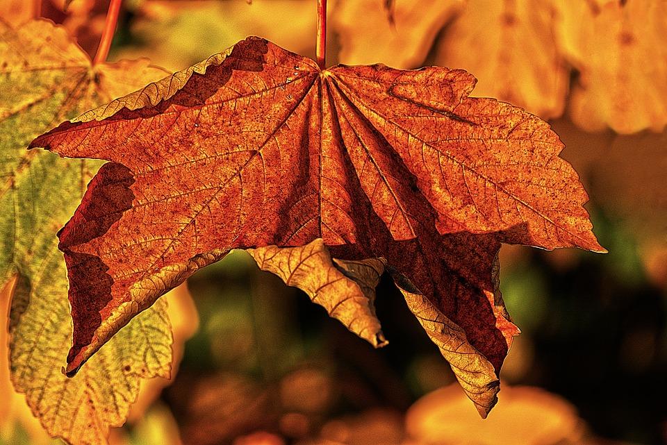 Maple Leaf, Autumn Leaf, Leaf, Dry, Autumn