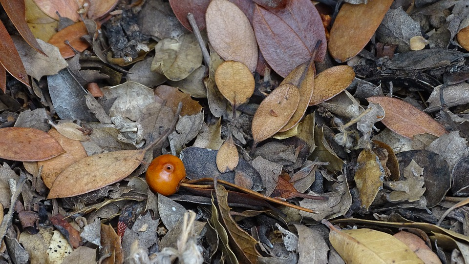 Leaves, Foliage, Plant, Berry, Ground, Dry Leaves