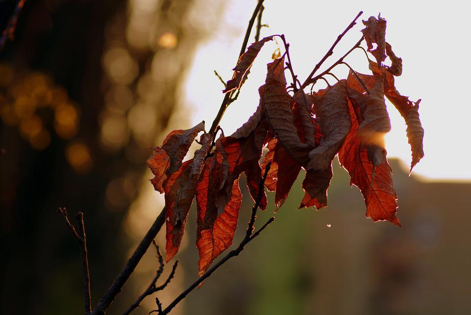 Dry Leaves, Branch, Brown, The Sun, Evening, Leaf