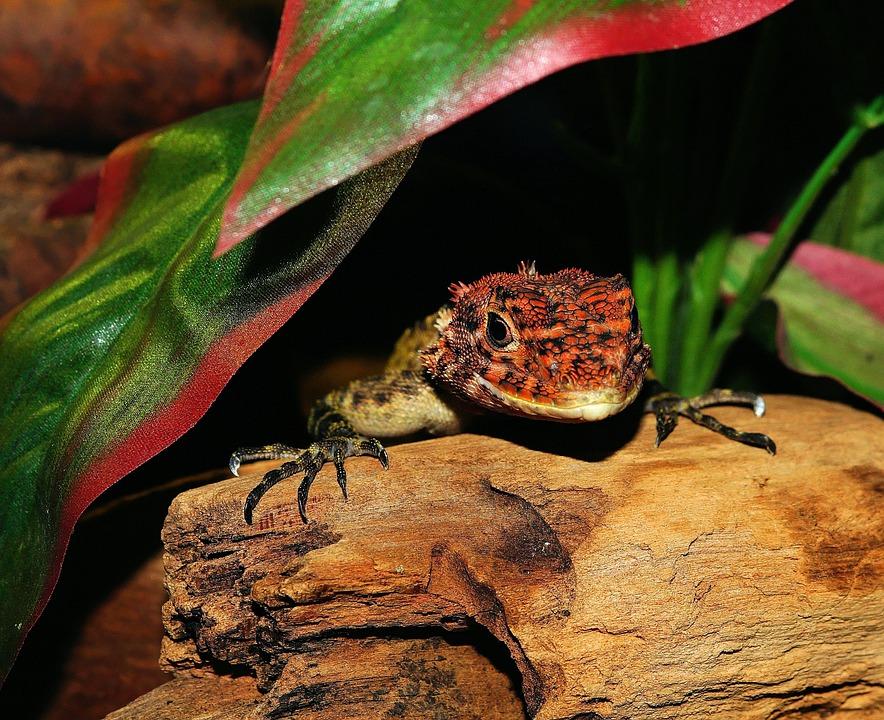 Lizard, Reptile, Scale, Terrarium, Urtier, Dry, Hot