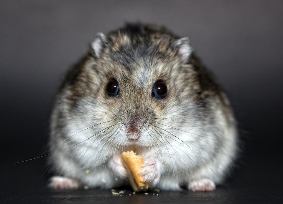 Hamster, Dwarf Hamster, Dschungare, Dsungare