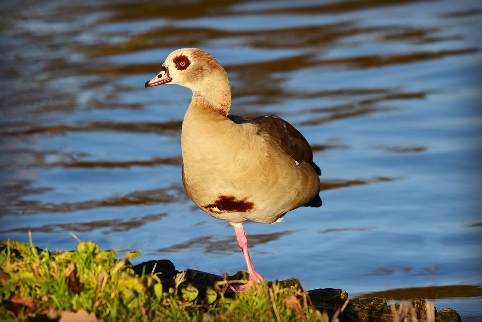 Nile Goose, Duck, Water Bird, Animal