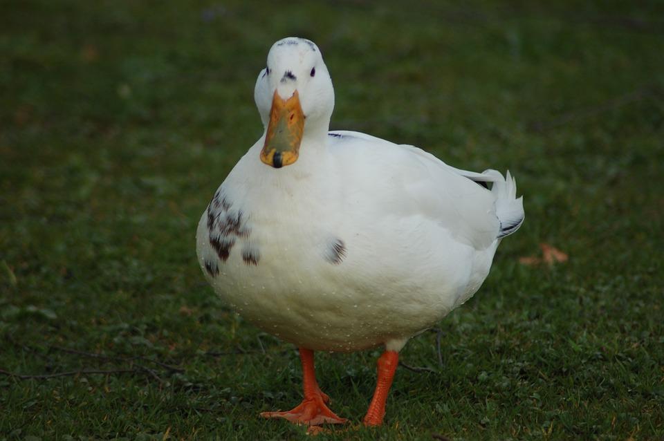 Duck, Bird, Animals