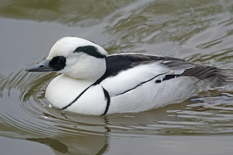 Dwarf Sawyer, Duck, Duck Bird, Water Bird, Drake