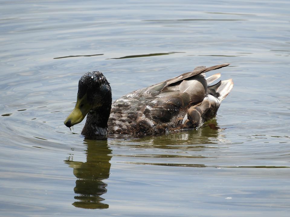 Water Bird, Duck, Duck Bird, Waterfowl, Colorful