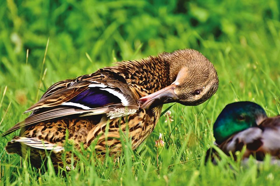 Mallard, Duck, Water Bird, Duck Bird, Poultry, Bird