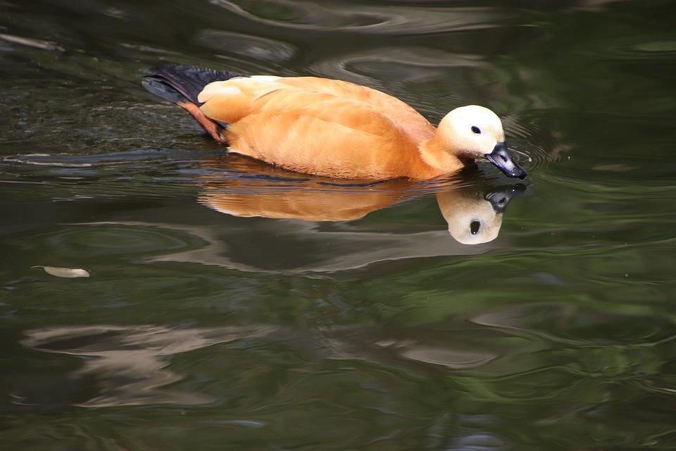 Ruddy Shelduck, Duck, Bird, Waterfowl, Water Bird