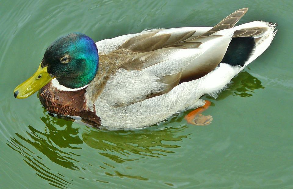 Duck, Mallard, Water Bird, Duck Bird, Bird, Water