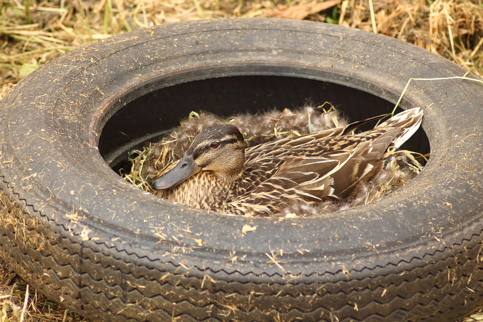 Pollution, Duck, Duck Females, Breeding End, Breed