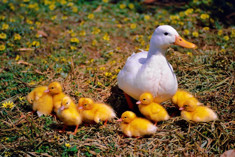 Duck, Chicken, Family, Wildlife Photography