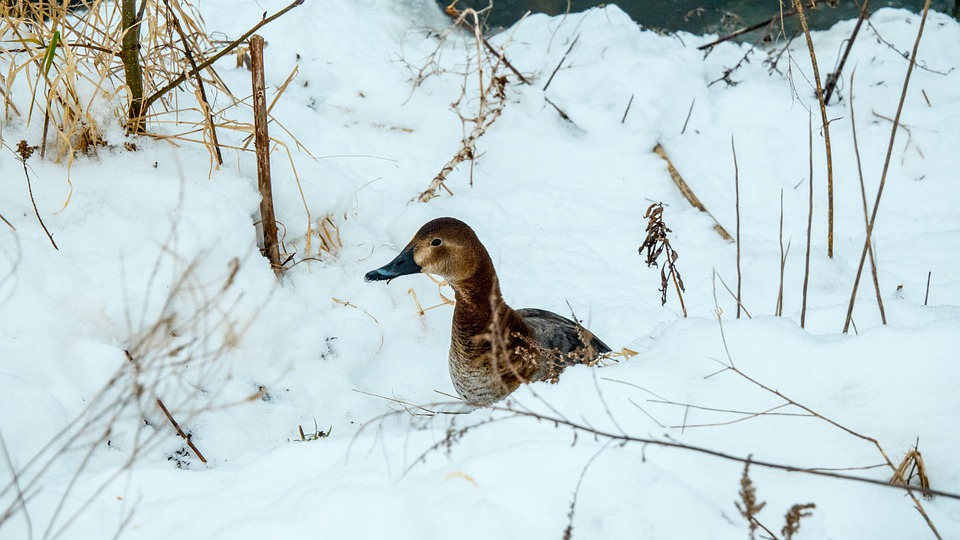 Duck In The Snow, Duck, Snow, Winter, Cold, Nature