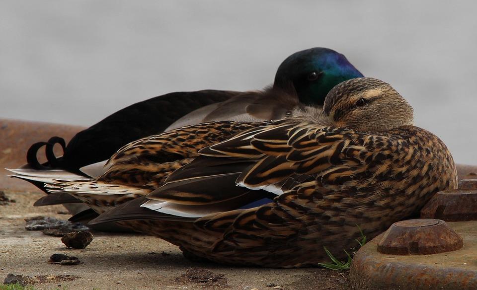 Mallard, Anas Platyrhynchos, Duck, Duck Race, Ducks