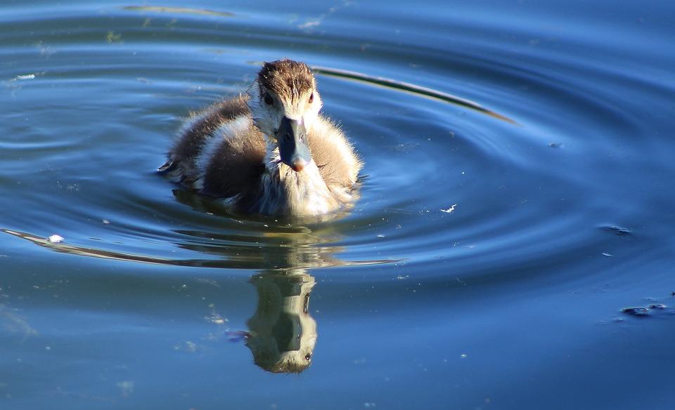 Duckling, Water, Duck, Bird, Animal, Lake, Young