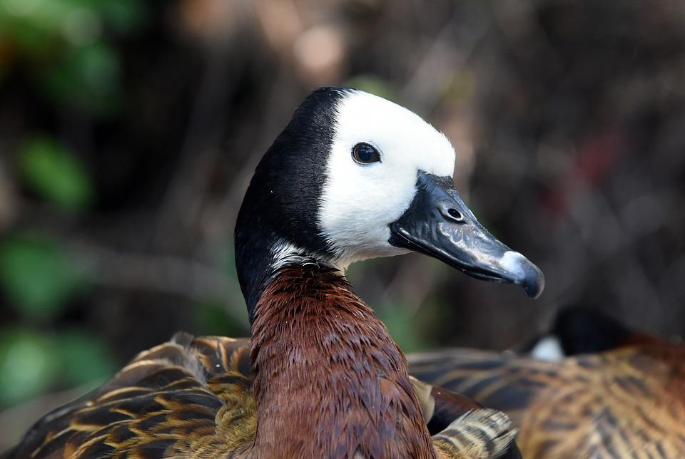 Faced Whistling Duck, Duck, Bird, Nature, Colors