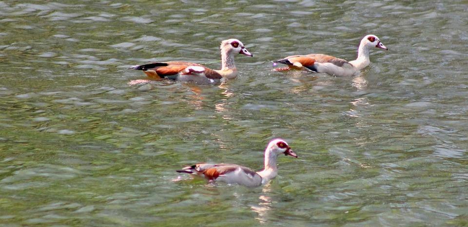 Goose, Wild Geese, Duck, Family, Fücken, Lake, Pond
