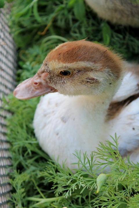 Duck, Bird, Beautiful, Nature, Fauna, Birds