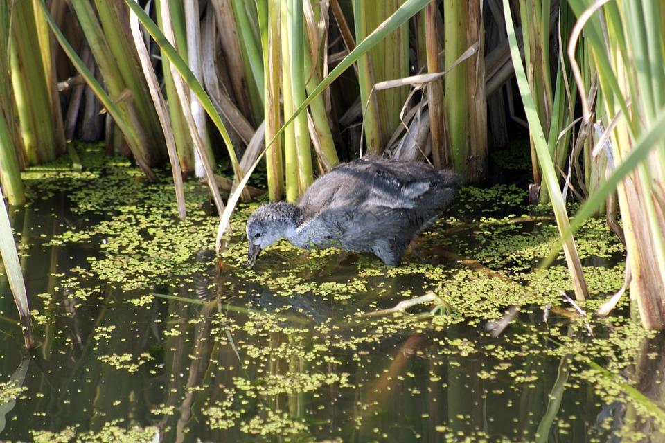 Duck, Feeding Duck, Bird