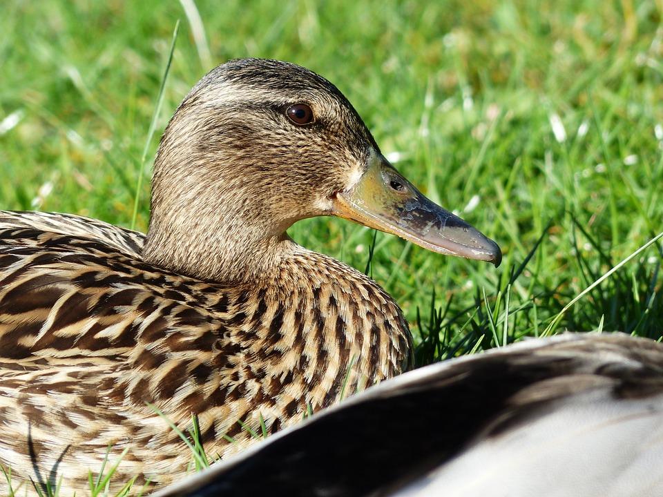 Duck Females, Mallard, Female, Anas Platyrhynchos