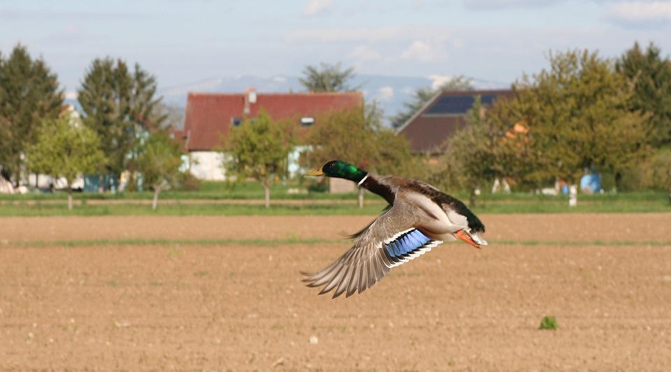 Duck, Flight, Wild, Feathers, Freedom, Sky, Bird
