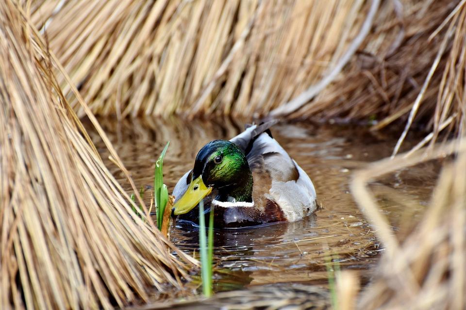 Drake, Duck, Mallard, Water Bird, Plumage, Water