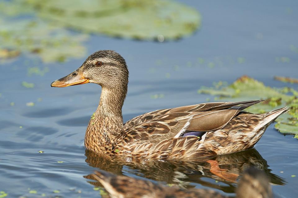 Duck, Pond, Water Bird, Water, Bird, Trout Pond, Mammal