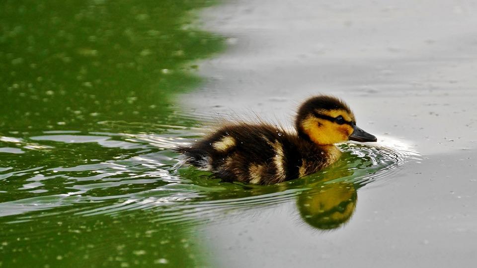 Body Of Water, Bird, Duck, Nature