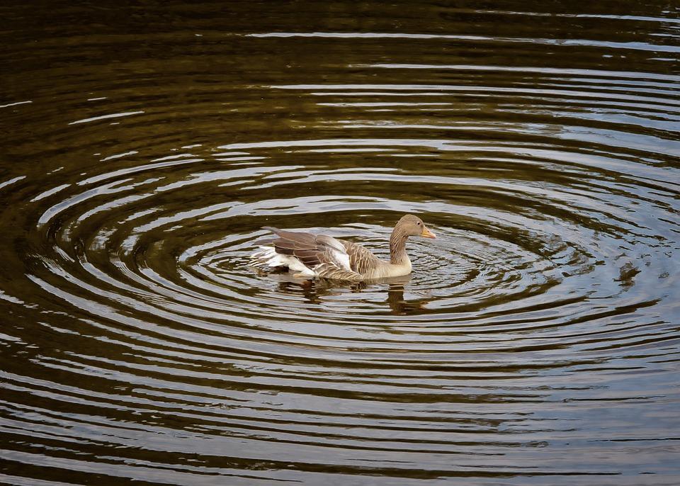 Duck, Water, Circle, Water Bird, Bird, Animal, Nature