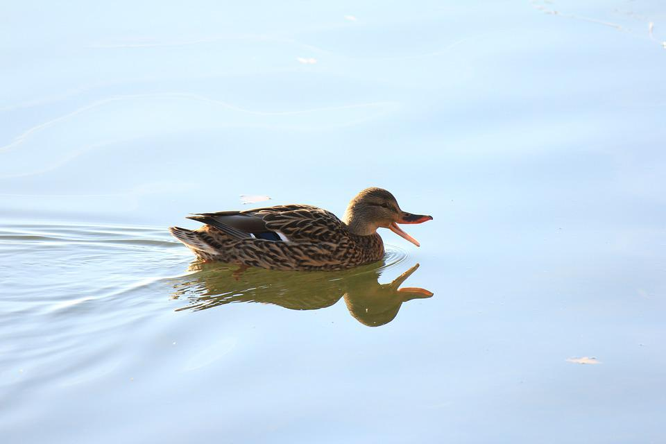 Duck, Water Duck, Nature