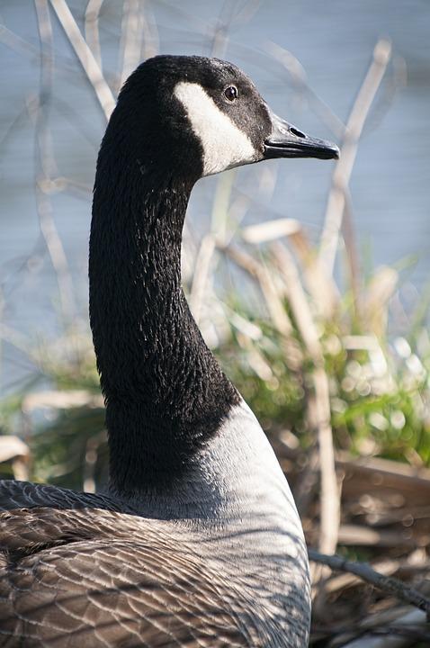 Duck, Nature, Birds, Colors, Plumage, Ornithology