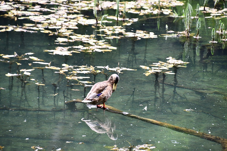 Duck, Swamp, Reflection, Animal, Outdoors, Pond