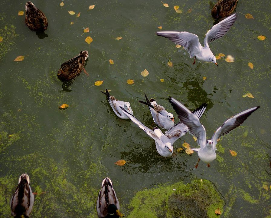 Park, Lake, Gulls, Duck, Autumn