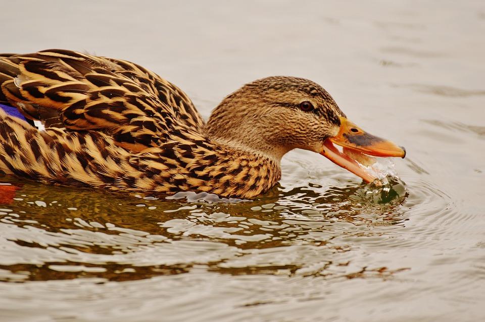 Duck, Water Bird, Eat, Feed, Bread, Poultry, Plumage