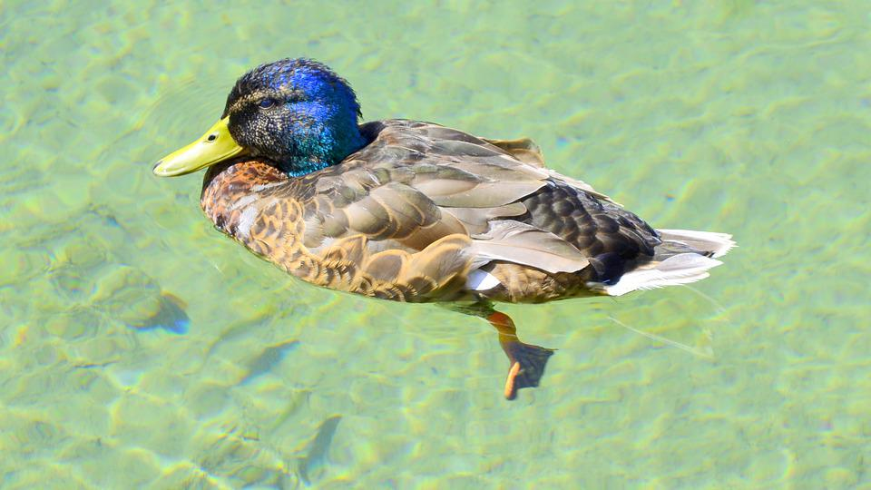 Duck, Poultry, Water Bird, Animal World