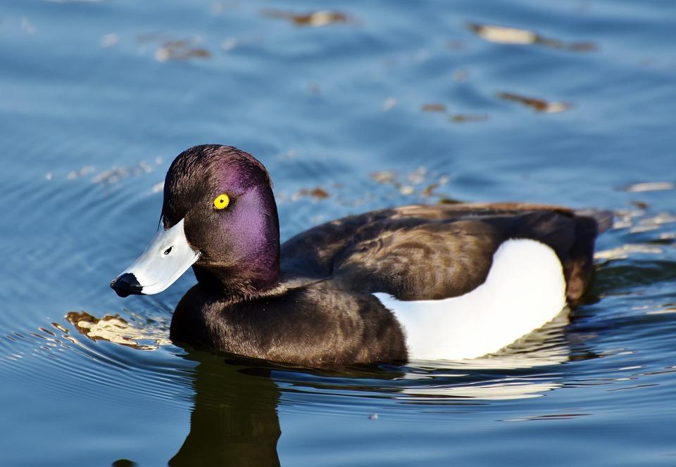 Violet Duck, Small Mountain Duck, Duck, Bird, Ducky