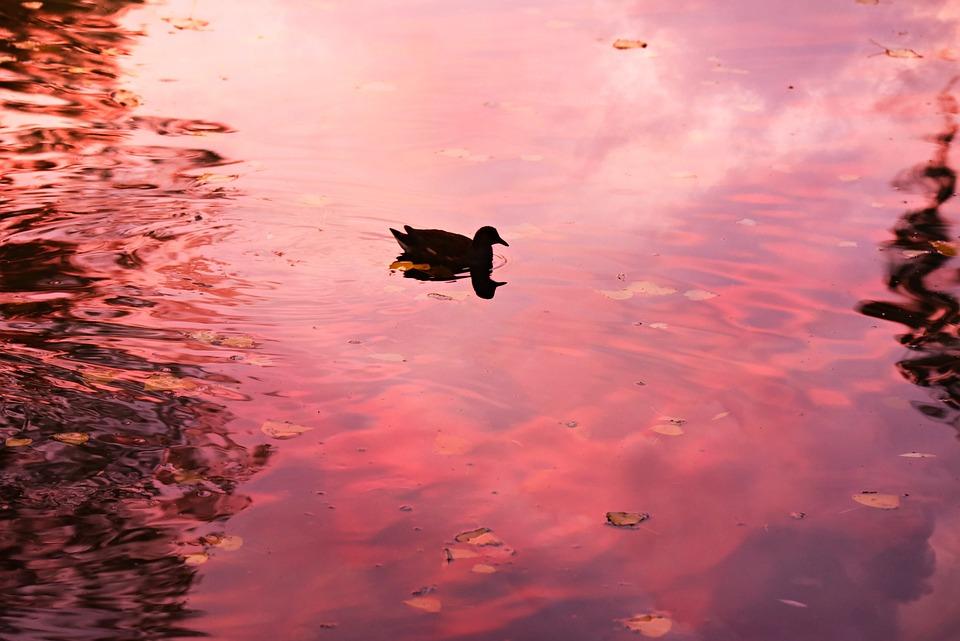 Pond, Water, Duck, Bird, Waterbird, Swimming