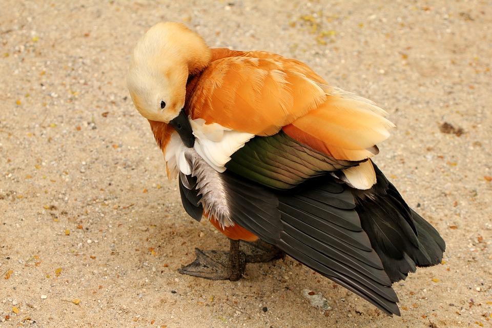 Tadorna Rusty, Bird, Duck, Threatened With Extinction