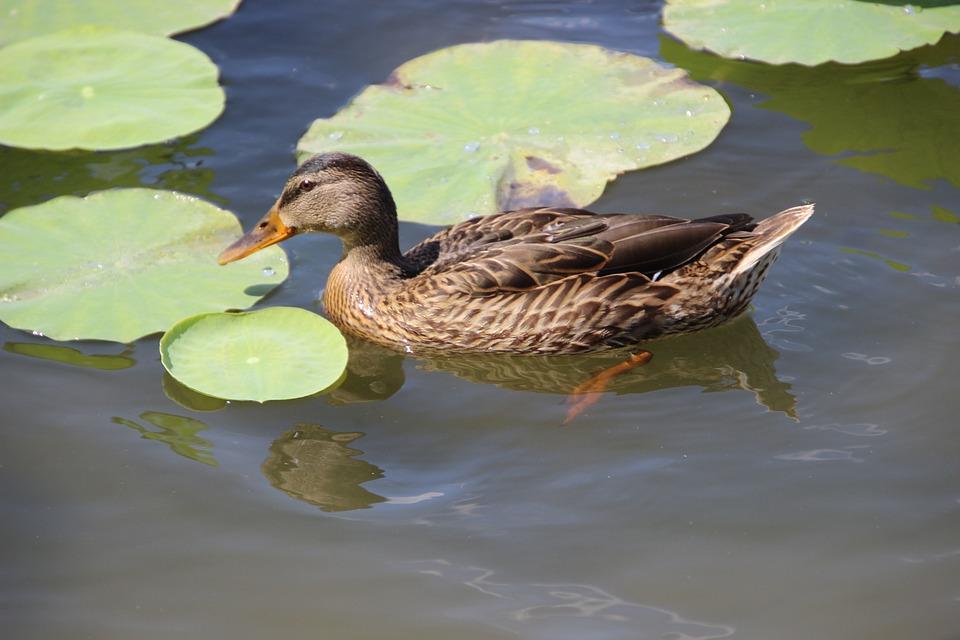 Duck, Bird, Waterfowl, Mallard, Water Bird