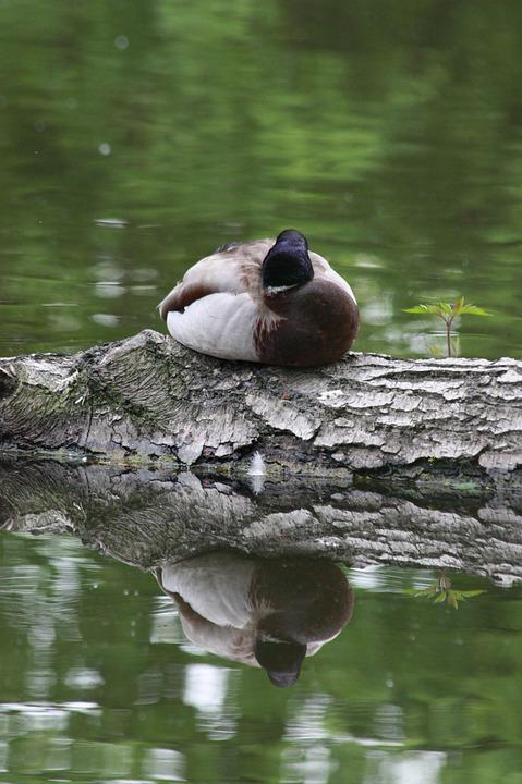 Duck, Water, Forest, Green, Water Bird, Bird Duck