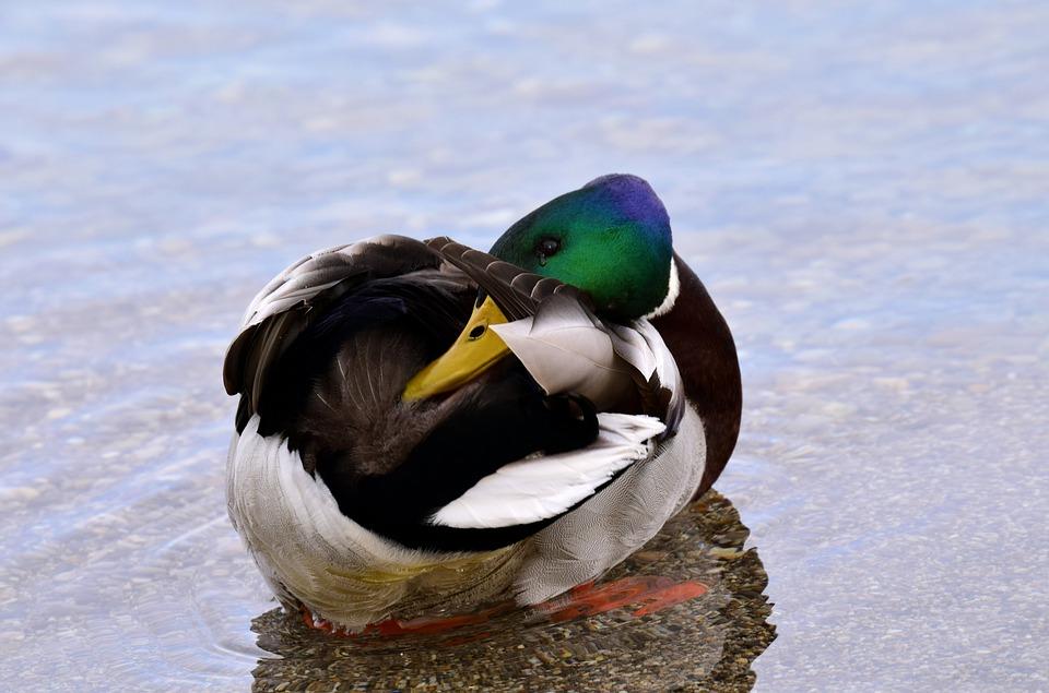 Duck, Mallard, Water, Lake, Drake, Clean, Plumage