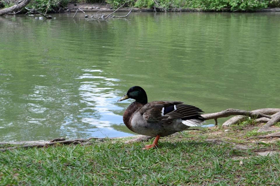Water, Nature, Lake, Duck, Pool, Bird, Outdoors
