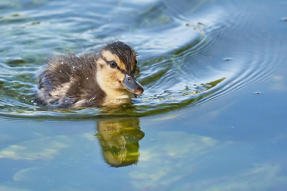 Muter, Swarm, Sweet, Young Animal, Duck, Water, Leg