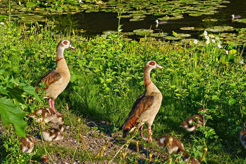 Nile Goose, Duck, Waterbird, Bird, Young, Chick