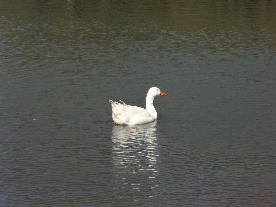 Duck, Lake, Groves Of Palermo, Waterfowl, White Bird