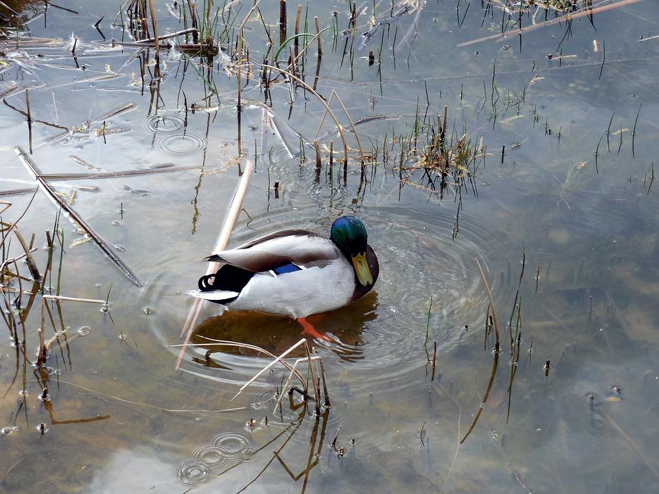 Duck, Water Bird, Water, Nature, Bird, Wave, Wet, Lake