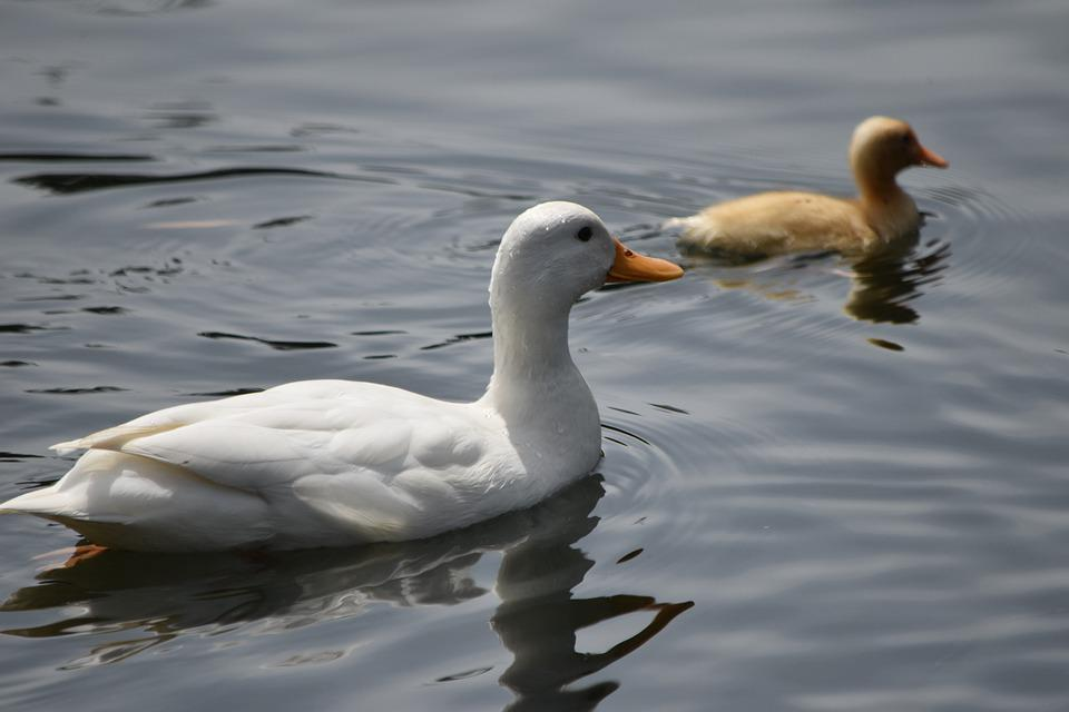 White Duck, Duck, Duckling, Swimming, Mom And Baby