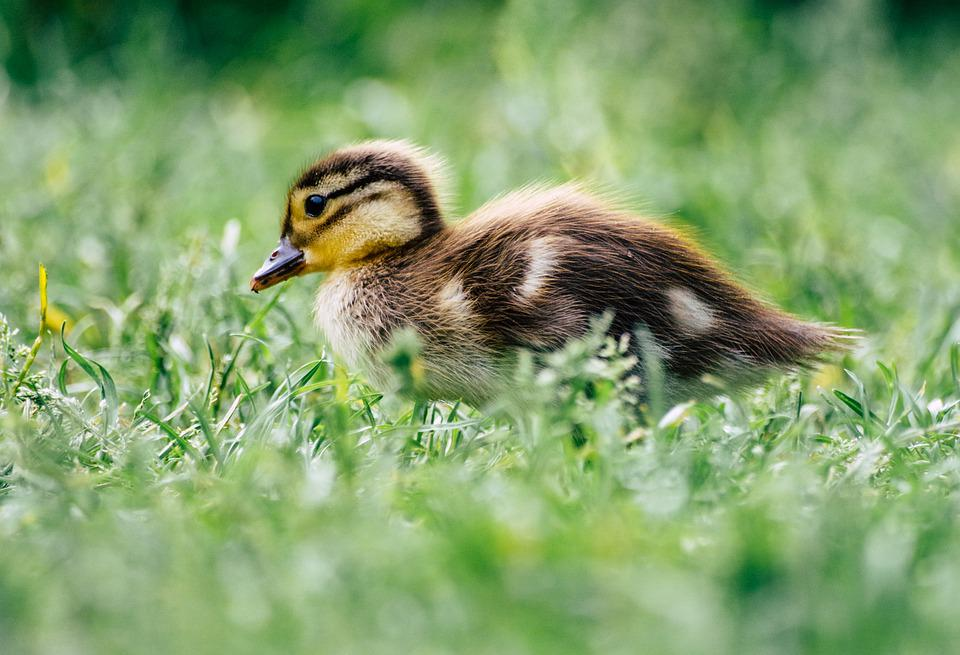 Duck, Duckling, Bird, Plumage, Small, Young Animal