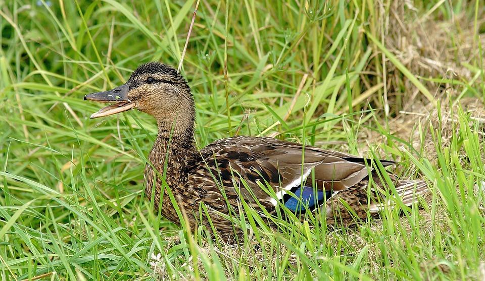 Duck, Young Animal, Cute, Water Bird, Young Bird