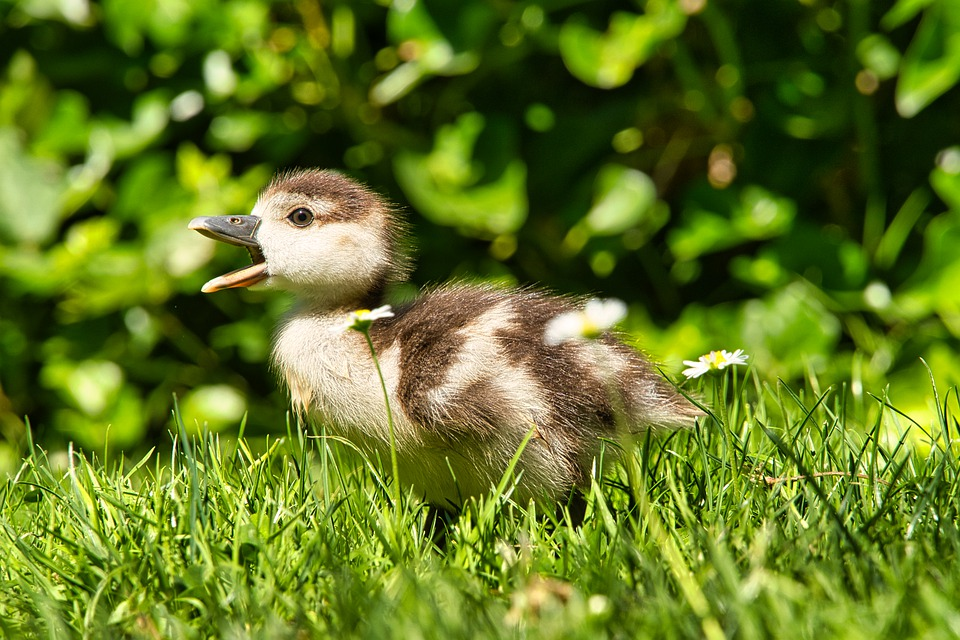Duckling, Grass, Bird, Baby, Feather, Cute, Water Bird