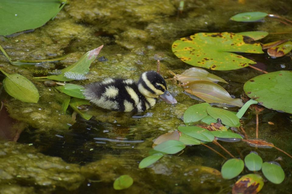 Duckling, Bird, Pond, Lily Pads, Animal, Plumage, Beak